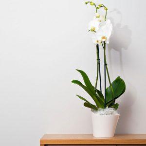 ¿Cómo cultivar y mantener orquídeas?